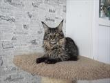 кошка Red Gates Queenny (n 24)