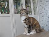 кошка Red Gates Honda (f 22 03)